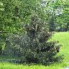 PiceaBreweriana.jpg 681 x 908 px 259.21 kB