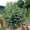 PiceaChihuahuana.jpg 1032 x 1024 px 346.47 kB