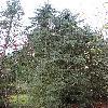 PiceaEngelmannii2.jpg 720 x 960 px 488.15 kB