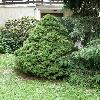 PiceaGlaucaConica2.jpg 638 x 850 px 181.3 kB