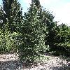 PiceaJezoensis.jpg 681 x 908 px 465.32 kB