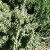 PiceaOmorica2.jpg 1127 x 845 px 387.11 kB