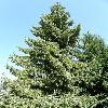 PiceaOmorica.jpg 638 x 850 px 166.37 kB