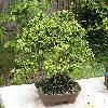 PiceaOrientalis2.jpg 1024 x 768 px 280.57 kB