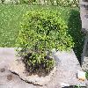 PiceaOrientalis3.jpg 1024 x 768 px 216.78 kB