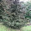 PiceaOrientalis5.jpg 681 x 908 px 282.9 kB