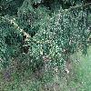 PiceaOrientalis6.jpg 1167 x 875 px 327.44 kB