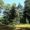 PiceaOrientalisAurea.jpg 681 x 908 px 463.77 kB