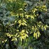 PiceaOrientalisAureospicata.jpg 1024 x 681 px 440 kB