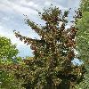 PiceaOrientalis.jpg 800 x 1200 px 529.96 kB