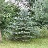 PiceaPungens5.jpg 615 x 820 px 181.65 kB