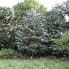 PiceaPungens.jpg 681 x 908 px 450.22 kB