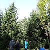 PiceaRubens.jpg 1219 x 914 px 417.88 kB