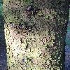 PiceaSitchensis3.jpg 681 x 908 px 460.05 kB