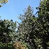 PiceaSitchensis.jpg 681 x 908 px 265.18 kB