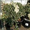 PierisJaponicaVariegata2.jpg 1120 x 840 px 251.77 kB