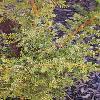 PilgerodendronUviferum2.jpg 563 x 1000 px 312.79 kB