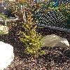 PilgerodendronUviferum.jpg 563 x 1000 px 376.58 kB
