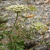 PilopleuraTordyloides3.jpg 900 x 1200 px 577.51 kB