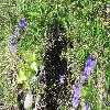 PinguiculaGrandiflora2.jpg 1024 x 768 px 329.26 kB