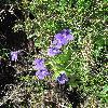 PinguiculaGrandiflora.jpg 675 x 900 px 452.61 kB