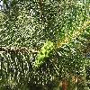 Pinus2.jpg 1024 x 768 px 298.6 kB