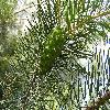 Pinus3.jpg 1024 x 768 px 245.4 kB