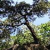 Pinus4.jpg 576 x 768 px 201.51 kB