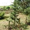 PinusAristata2.jpg 630 x 840 px 185.52 kB