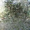 PinusAristata4.jpg 681 x 908 px 285.63 kB