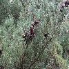 PinusArmandii2.jpg 1024 x 768 px 304.22 kB