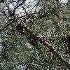 PinusAttenuata3.jpg 797 x 1200 px 546.66 kB