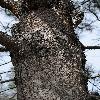 PinusAttenuata8.jpg 797 x 1200 px 558.12 kB