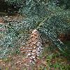 PinusAyacahuite3.jpg 720 x 960 px 434.56 kB