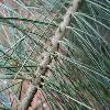PinusAyacahuite4.jpg 1024 x 768 px 164.15 kB