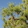 PinusBrutiaEldarica2.jpg 600 x 903 px 427.78 kB
