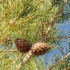 PinusBrutiaEldarica3.jpg 600 x 801 px 405.76 kB