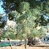 PinusCanariensis2.jpg 480 x 640 px 124.39 kB