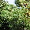 PinusCanariensis4.jpg 600 x 903 px 428.33 kB