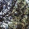 PinusContorta2.jpg 1219 x 914 px 499.27 kB