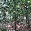 PinusContorta3.jpg 681 x 908 px 439.45 kB
