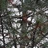 PinusCoulteri2.jpg 681 x 908 px 469.36 kB