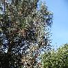 PinusCoulteri3.jpg 1219 x 914 px 451.83 kB
