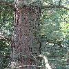 PinusCoulteri4.jpg 681 x 908 px 256.69 kB