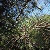 PinusCoulteri5.jpg 1219 x 914 px 365.18 kB
