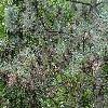 PinusCoulteri7.jpg 1204 x 903 px 488.31 kB