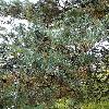 PinusDensiflora3.jpg 681 x 908 px 502.7 kB
