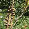 PinusDensiflora8.jpg 600 x 903 px 428.04 kB