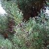 PinusDensifloraUmbraculifera2.jpg 1024 x 768 px 281.53 kB