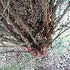 PinusDensifloraUmbraculifera3.jpg 720 x 960 px 500.53 kB